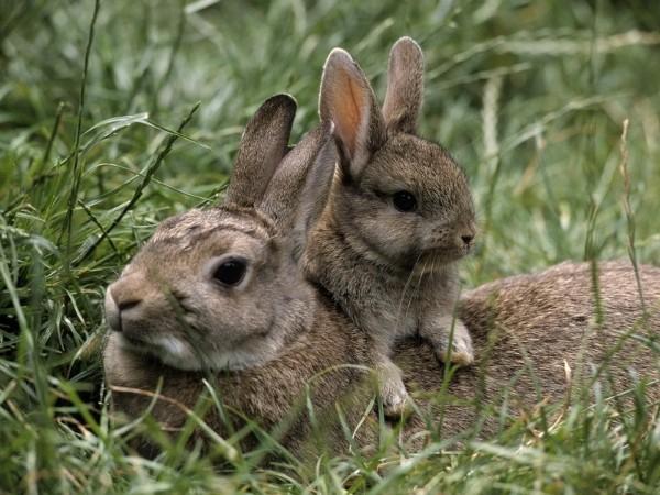 Беременность кроликов сколько длится